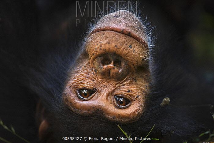 Eastern Chimpanzee (Pan troglodytes schweinfurthii) ten year old juvenile male, named Gimli, Gombe National Park, Tanzania