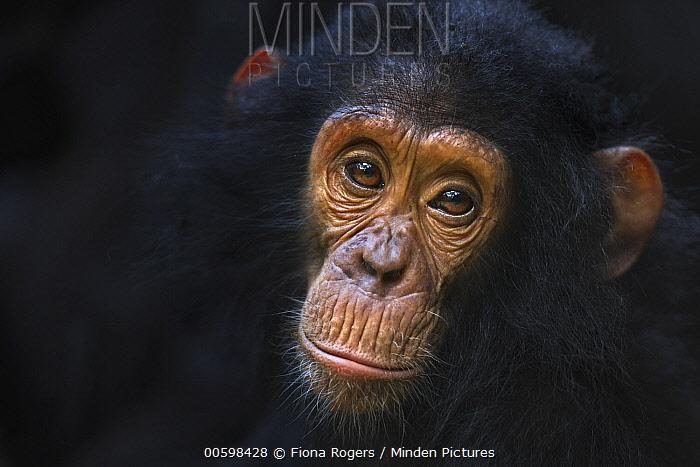 Eastern Chimpanzee (Pan troglodytes schweinfurthii) four year old infant male, named Gizmo, Gombe National Park, Tanzania