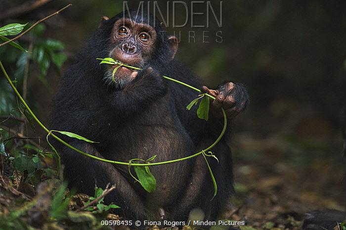 Eastern Chimpanzee (Pan troglodytes schweinfurthii) seven year old juvenile male, named Siri, feeding on vines, Gombe National Park, Tanzania