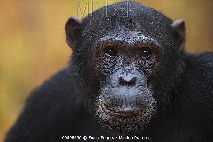 Eastern Chimpanzee (Pan troglodytes schweinfurthii) seventeen year old male, named Fudge, Gombe National Park, Tanzania