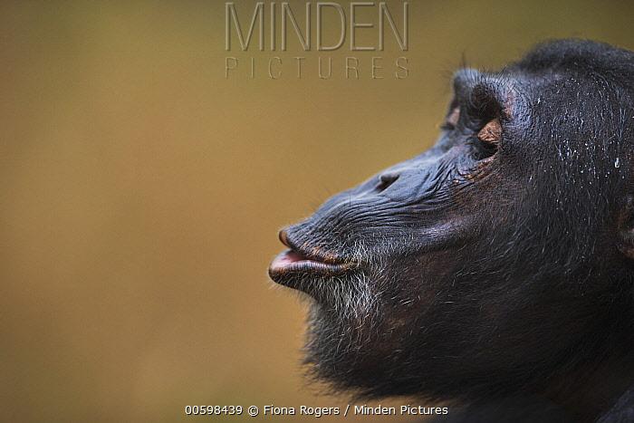 Eastern Chimpanzee (Pan troglodytes schweinfurthii) seventeen year old male, named Fudge, hooting, Gombe National Park, Tanzania