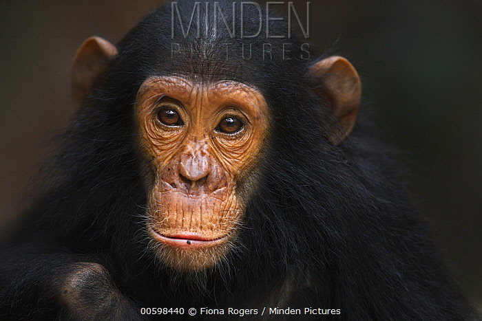 Eastern Chimpanzee (Pan troglodytes schweinfurthii) five year old infant male, named Gizmo, Gombe National Park, Tanzania