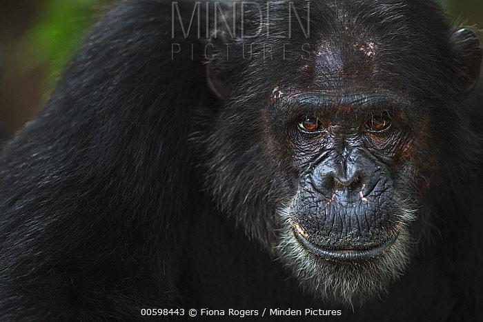 Eastern Chimpanzee (Pan troglodytes schweinfurthii) twenty year old male, named Titan, Gombe National Park, Tanzania