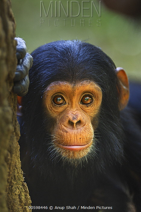 Eastern Chimpanzee (Pan troglodytes schweinfurthii) seventeen month old infant male, named Shwali, Gombe National Park, Tanzania