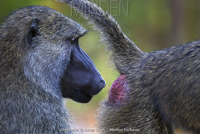 Olive Baboon (Papio anubis) male inspecting female for signs of estrus, Gombe National Park, Tanzania