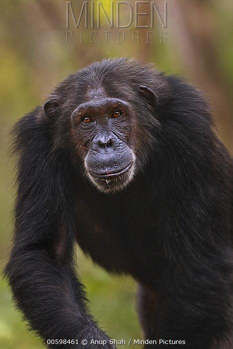 Eastern Chimpanzee (Pan troglodytes schweinfurthii) twenty-five year old female, named Nasa, Gombe National Park, Tanzania