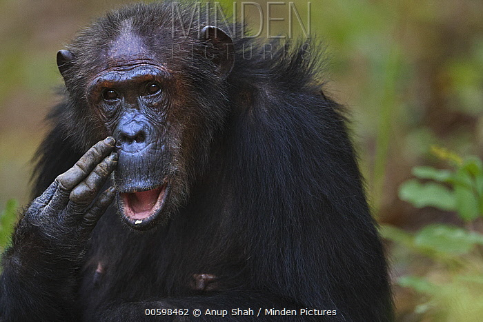 Eastern Chimpanzee (Pan troglodytes schweinfurthii) forty-three year old female, named Gremlin, scratching face, Gombe National Park, Tanzania