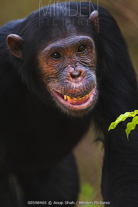 Eastern Chimpanzee (Pan troglodytes schweinfurthii) fourteen year old sub-adult male, named Fundi, making submissive facial gesture, Gombe National Park, Tanzania