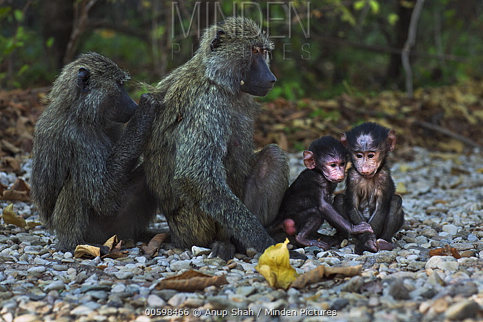 Olive Baboon (Papio anubis) three month old young playing with females grooming, Gombe National Park, Tanzania
