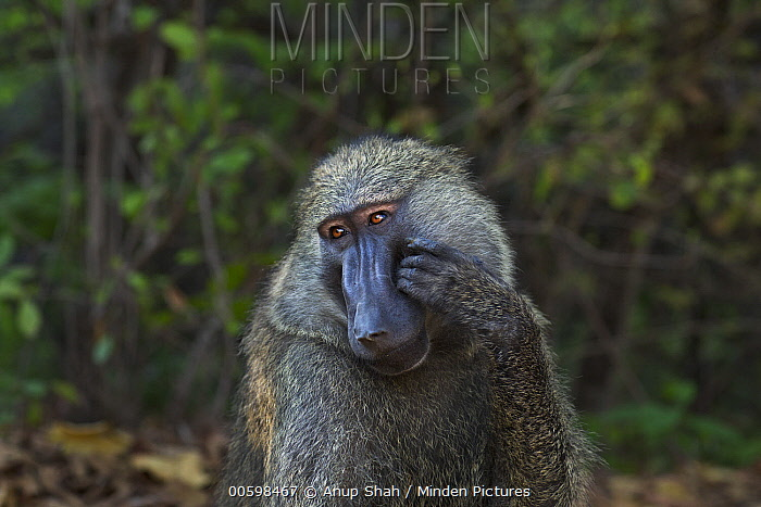 Olive Baboon (Papio anubis) male scratching face, Gombe National Park, Tanzania