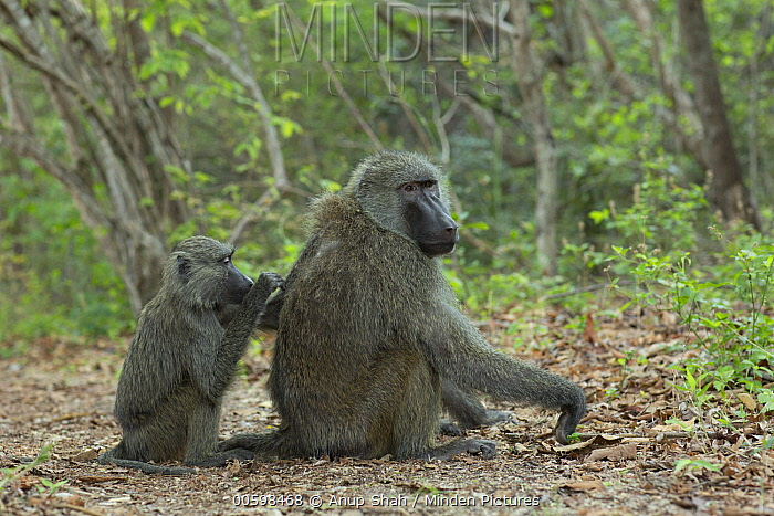 Olive Baboon (Papio anubis) male being groomed by juvenile, Gombe National Park, Tanzania