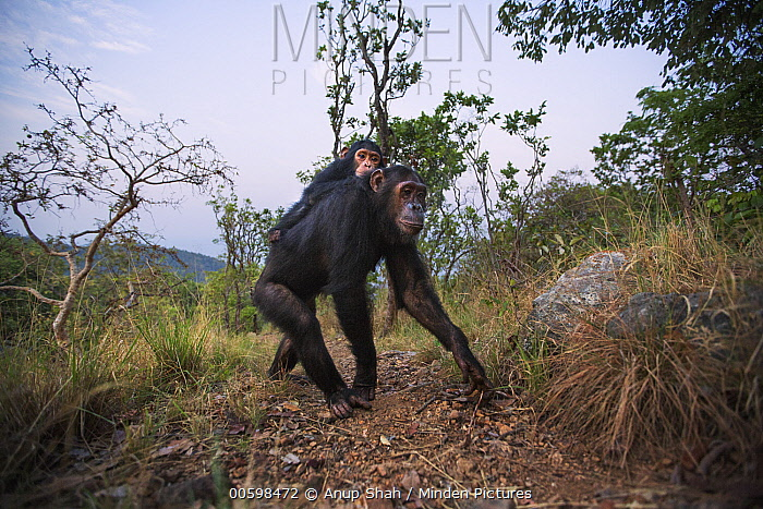 Eastern Chimpanzee (Pan troglodytes schweinfurthii) sixteen year old female, named Golden, carrying her three year old infant daughter, named Glamour, Gombe National Park, Tanzania