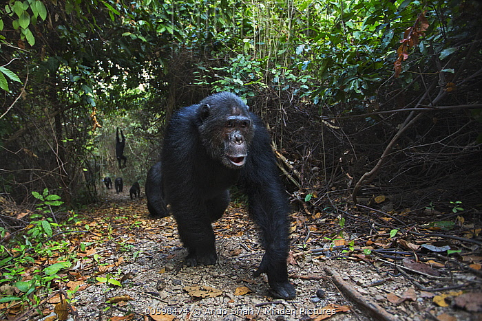 Eastern Chimpanzee (Pan troglodytes schweinfurthii) twenty-five year old male, named Faustino, leading troop, Gombe National Park, Tanzania