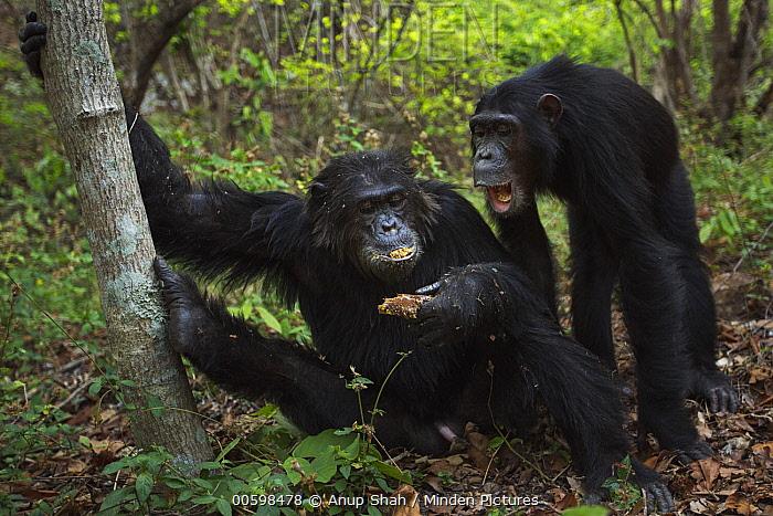 Eastern Chimpanzee (Pan troglodytes schweinfurthii) twenty-two year old alpha male, named Ferdinand, feeding on honeycomb, with twelve year old female, named Samwise, begging for food, Gombe National Park, Tanzania