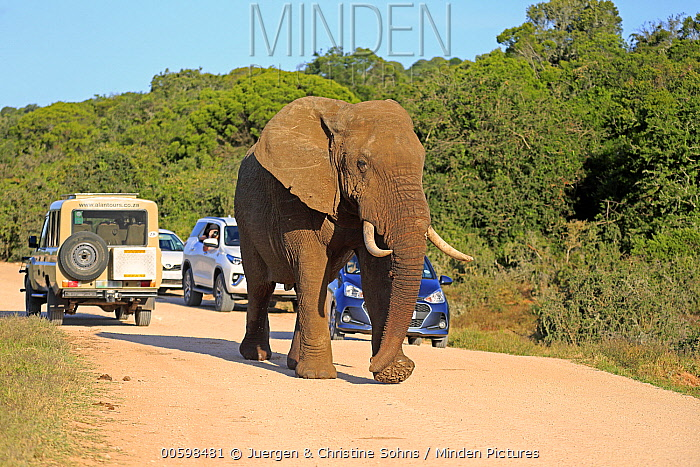 African Elephant (Loxodonta africana) on road near safari vehicles, Addo National Park, South Africa