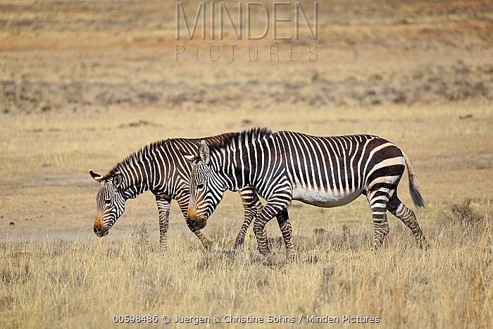 Mountain Zebra (Equus zebra) pair, Mountain Zebra National Park, South Africa