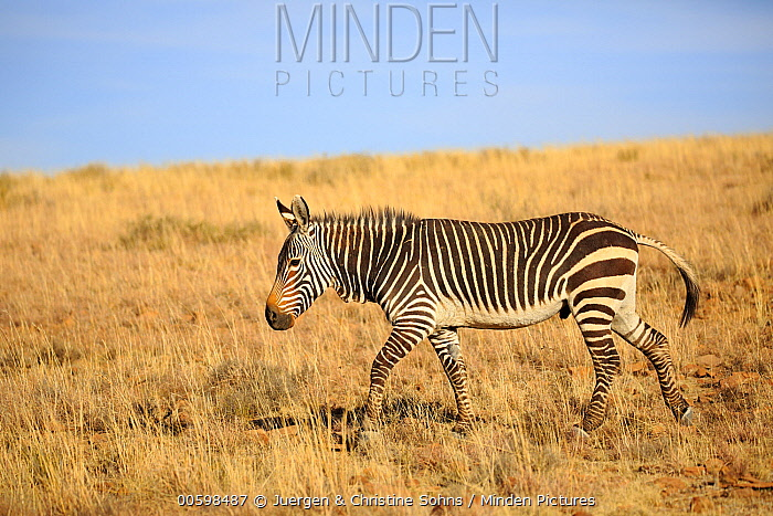Mountain Zebra (Equus zebra), Mountain Zebra National Park, South Africa