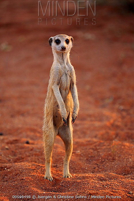 Meerkat (Suricata suricatta) on alert, Tswalu Game Reserve, South Africa