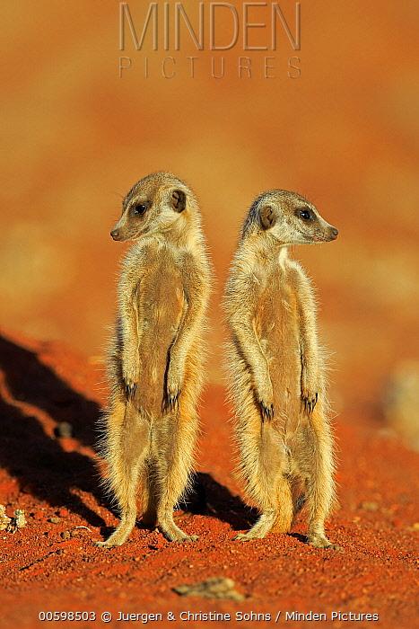 Meerkat (Suricata suricatta) pair on alert, Tswalu Game Reserve, South Africa