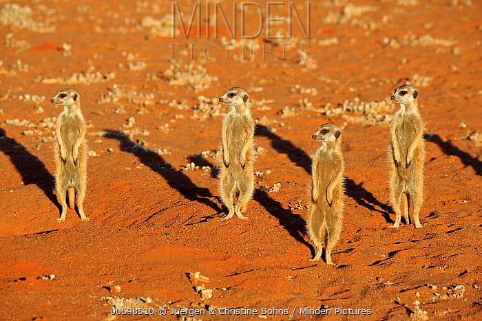 Meerkat (Suricata suricatta) group on alert, Tswalu Game Reserve, South Africa