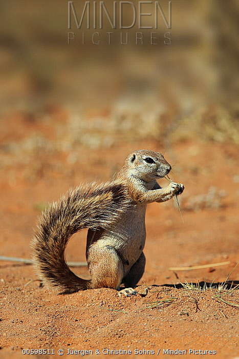Cape Ground Squirrel (Xerus inauris) feeding, Tswalu Game Reserve, South Africa