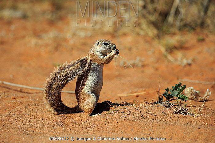 Cape Ground Squirrel (Xerus inauris) feeding, Tswalu Game Reserve, South Africa