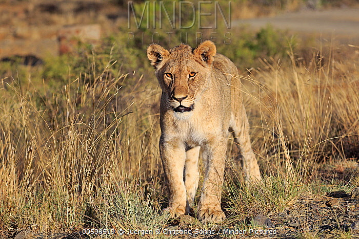 African Lion (Panthera leo) sub-adult female, Mountain Zebra National Park, South Africa