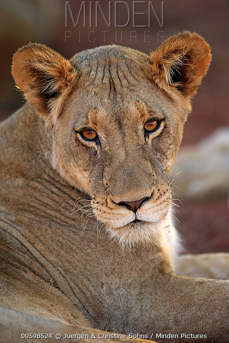 African Lion (Panthera leo) female, Tswalu Game Reserve, South Africa
