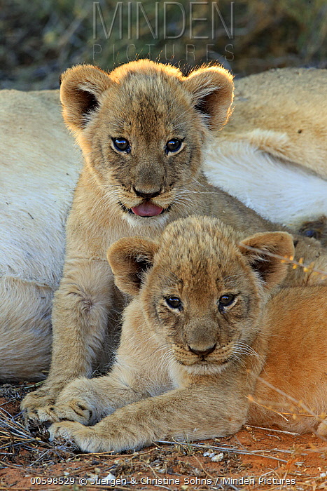 African Lion (Panthera leo) six week old cubs, Tswalu Game Reserve, South Africa