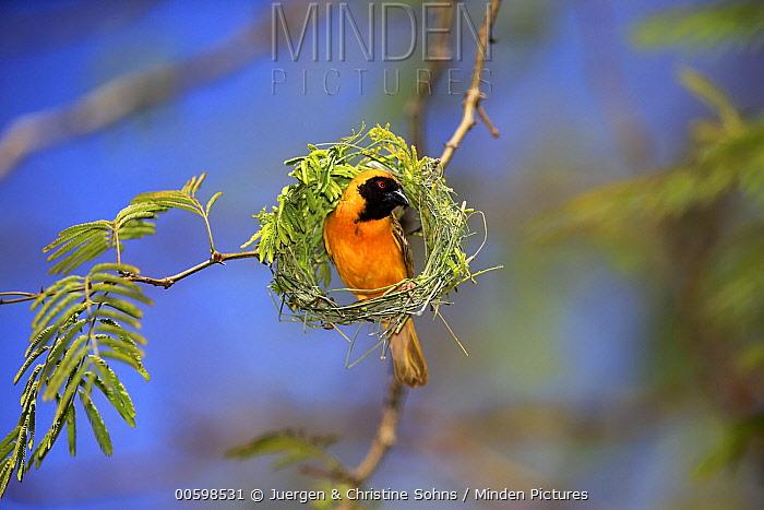 Masked-Weaver (Ploceus velatus) male weaving nest, Tswalu Game Reserve, South Africa