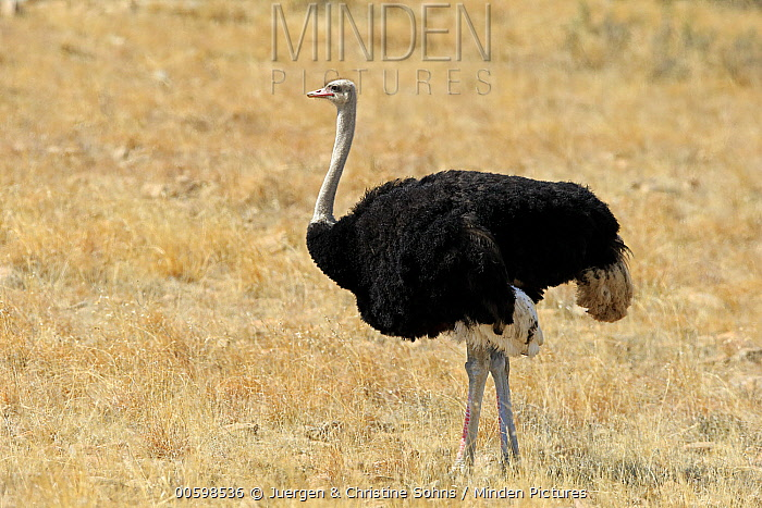 Ostrich (Struthio camelus) male, Mountain Zebra National Park, South Africa