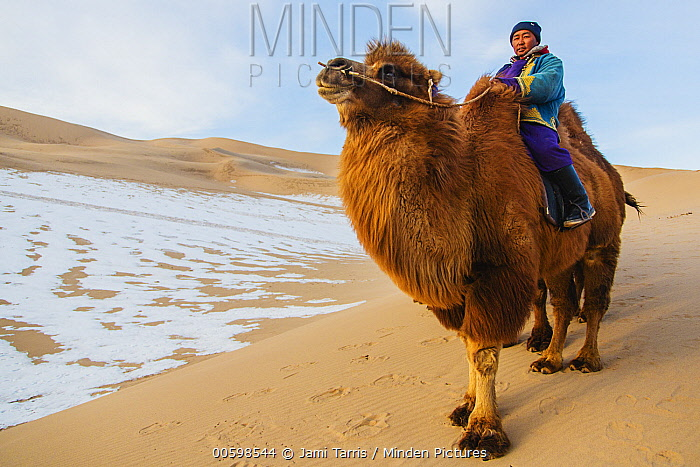 Bactrian Camel (Camelus bactrianus) with herder in winter, Gobi Desert, Mongolia