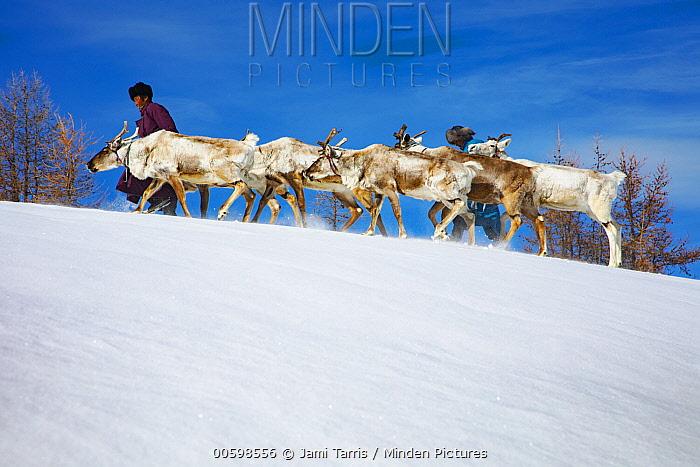 Caribou (Rangifer tarandus) herders leading herd in winter, Khovsgol, Mongolia