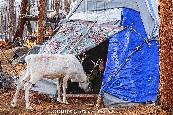 Caribou (Rangifer tarandus) entering teepee for food, Khovsgol, Mongolia