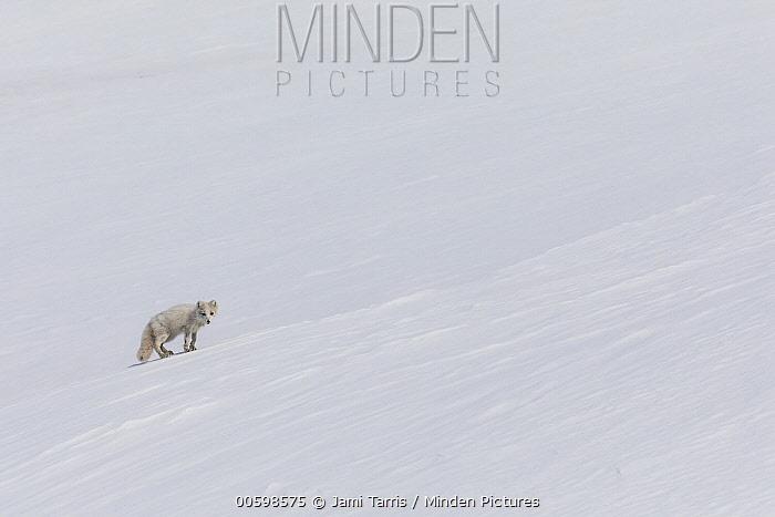 Arctic Fox (Alopex lagopus) in snow, Spitsbergen, Svalbard, Norway