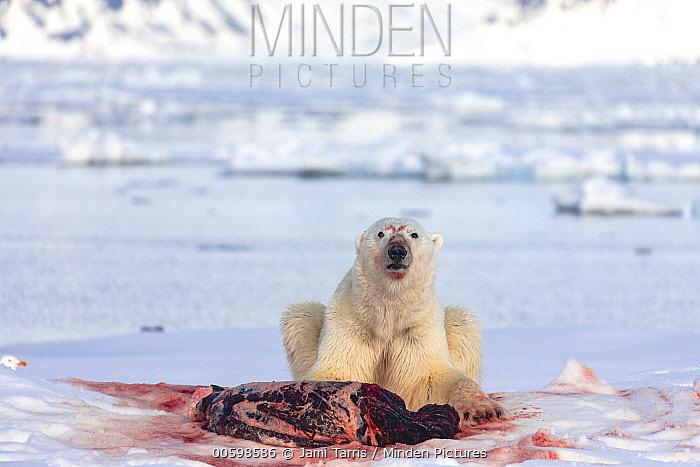 Polar Bear (Ursus maritimus) feeding on Bearded Seal (Erignathus barbatus) kill, Spitsbergen, Svalbard, Norway