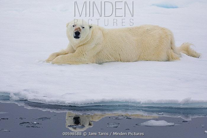 Polar Bear (Ursus maritimus) on ice floe, Spitsbergen, Svalbard, Norway