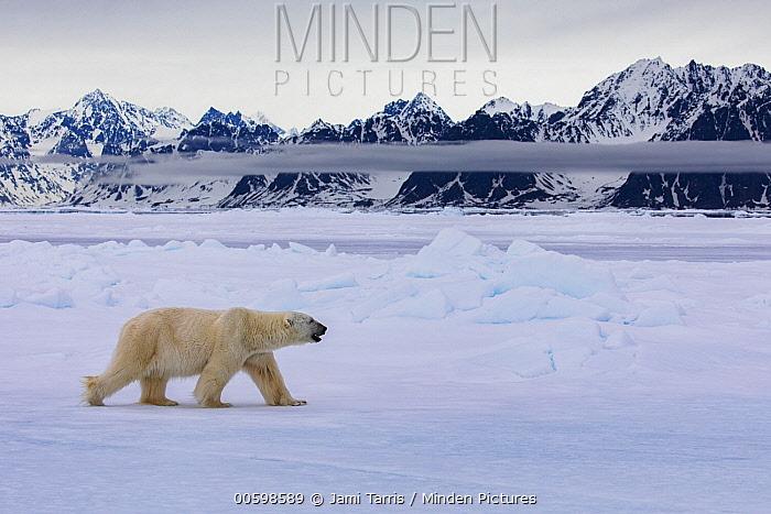 Polar Bear (Ursus maritimus) on ice, Spitsbergen, Svalbard, Norway