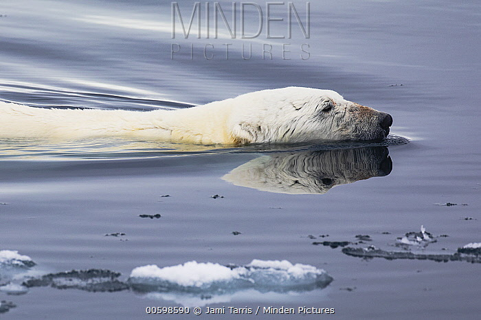 Polar Bear (Ursus maritimus) swimming, Spitsbergen, Svalbard, Norway
