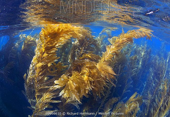 Giant Kelp (Macrocystis pyrifera) forest, Gull Island, Channel Islands, California