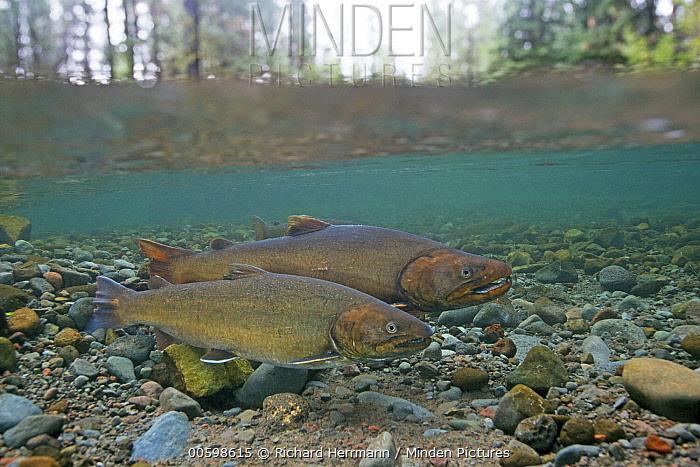 Bull Trout (Salvelinus confluentus) pair, Metolius River, eastern Oregon