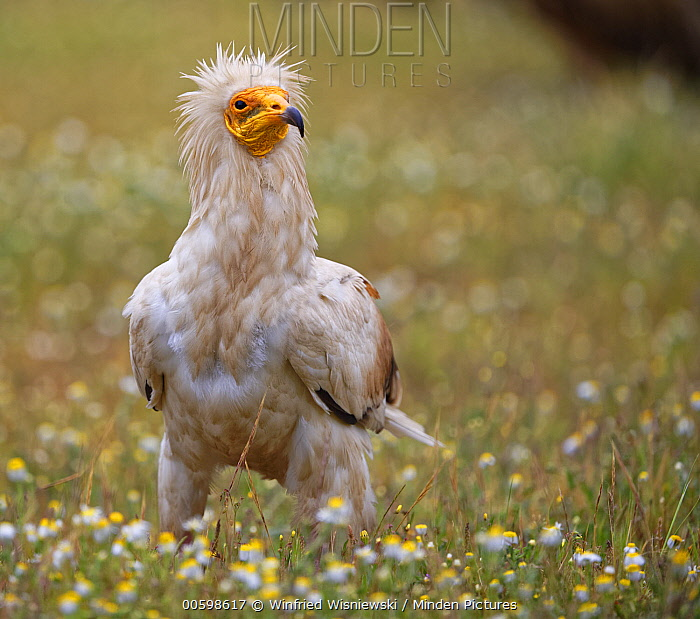 Egyptian Vulture (Neophron percnopterus) in flowering meadow, Extremadura, Spain
