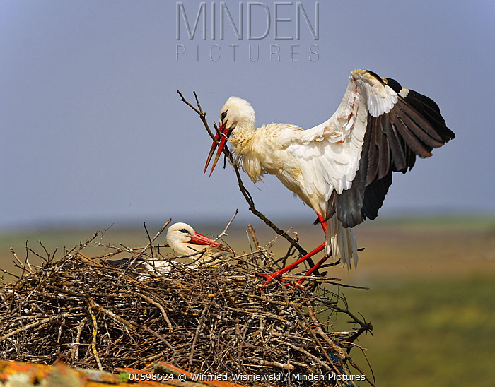 White Stork (Ciconia ciconia) landing with nest-building material, Extremadura, Spain