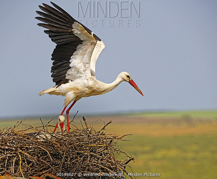 White Stork (Ciconia ciconia) taking flight from nest, Extremadura, Spain