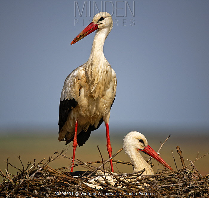 White Stork (Ciconia ciconia) pair on nest, Extremadura, Spain