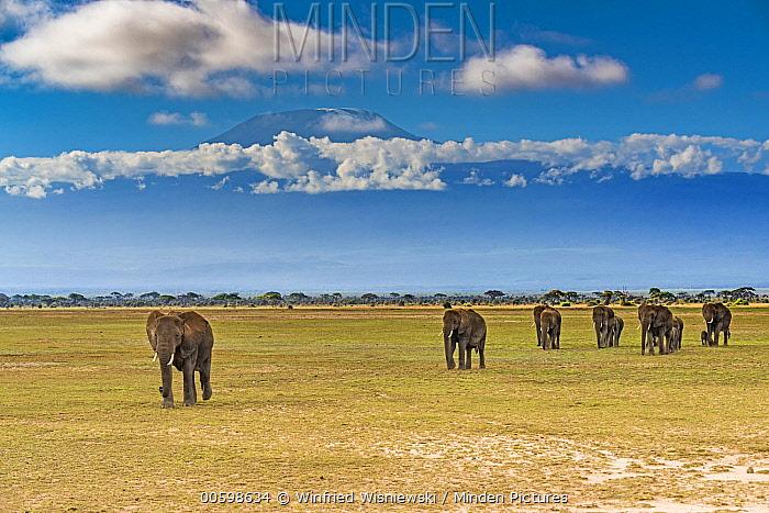 African Elephant (Loxodonta africana) herd in savanna, Mount Kilimanjaro, Amboseli National Park, Kenya