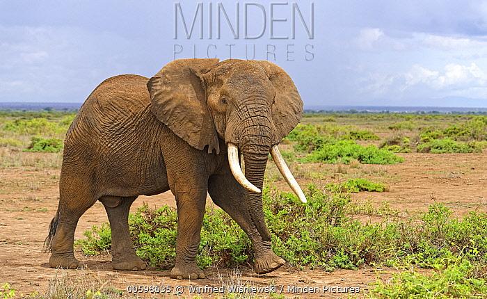 African Elephant (Loxodonta africana) bull, Amboseli National Park, Kenya