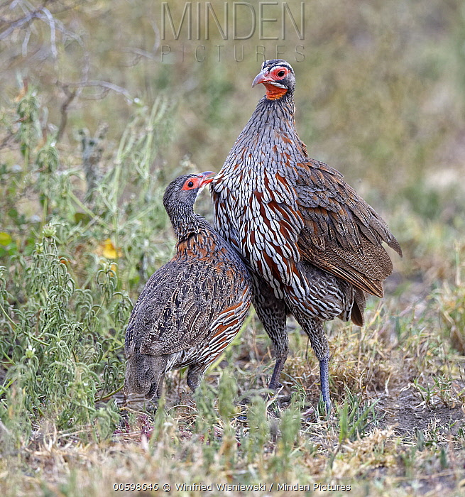 Grey-breasted Spurfowl (Francolinus rufopictus) pair, Serengeti National Park, Tanzania