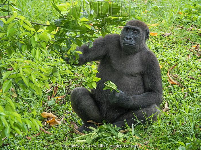 Western Lowland Gorilla (Gorilla gorilla gorilla) female feeding, Limbe Wildlife Centre, Cameroon