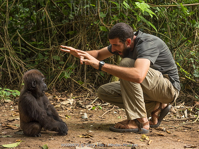 Western Lowland Gorilla (Gorilla gorilla gorilla) orphan played with by rehabilitator, Mefou Primate Sanctuary, Cameroon